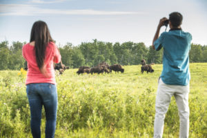 Two visitors watch a herd of plains bison with binoculars as they roam the countryside