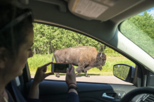 A bull bison as seen through a visitor's car window